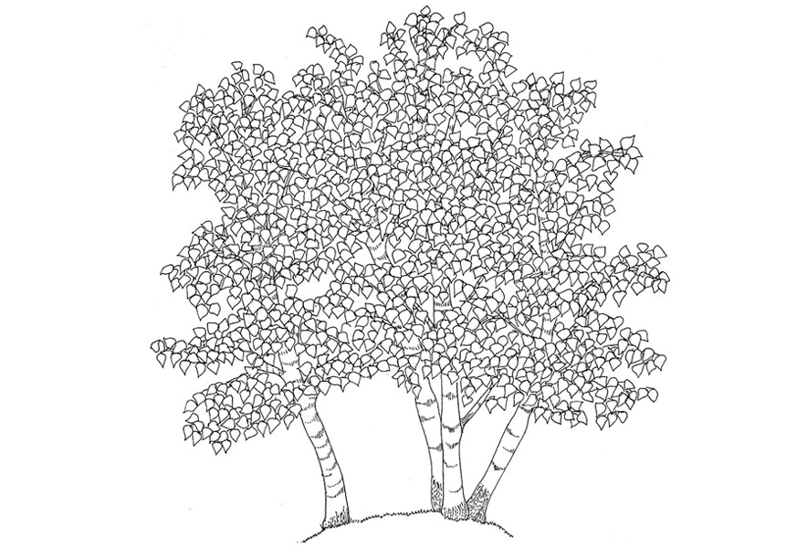 silver birches, Alessandra Spada drawings | trees